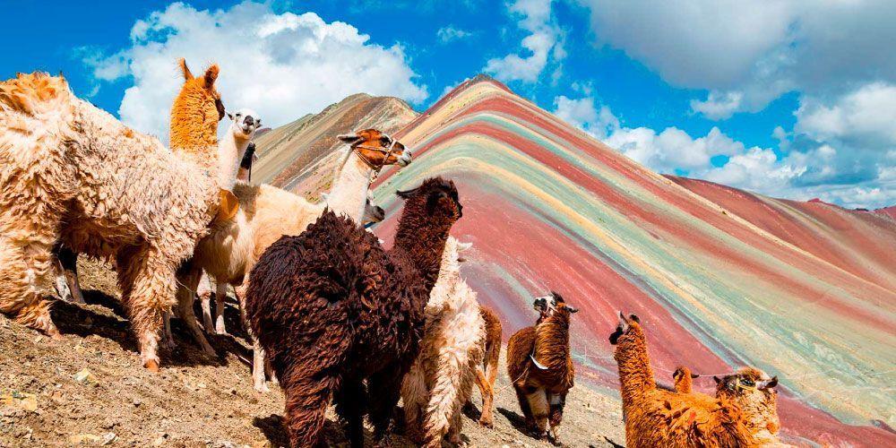 Alpcas In Rainbow Mountain